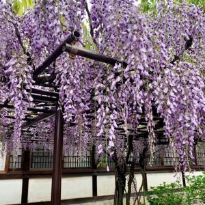 六孫王神社の藤の花