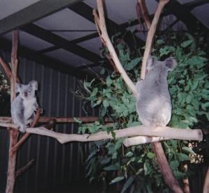 世界最大のコアラ園に行ってきた!
