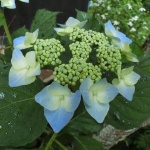アジサイ開花