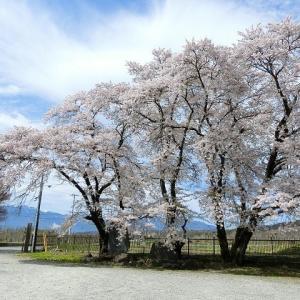 おいしい学校の桜