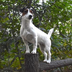 犬パルクールが紹介されました