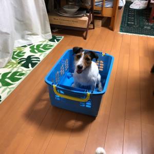 カゴを運んでくる犬