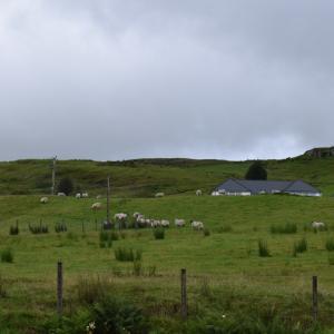 ハイランド牛と羊