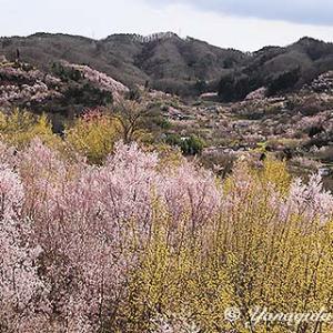 2020年3月28日の花見山公園