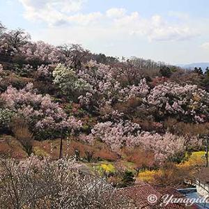2020年3月31日の花見山公園