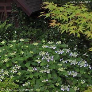 2021年6月22日の花見山公園