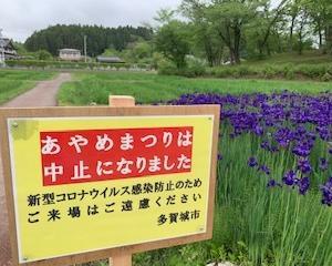 多賀城跡あやめ祭りは中止ですが、あやめが咲いています