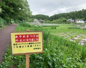多賀城あやめ苑ではあやめが見頃です。