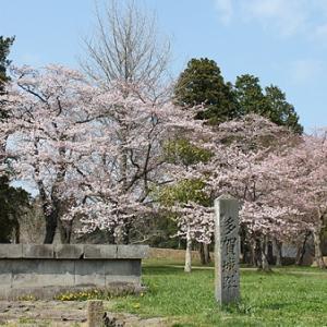 多賀城跡の桜が満開