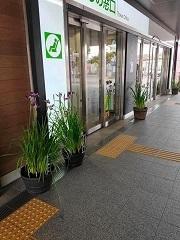 多賀城の各駅には美しいあやめが咲いています。
