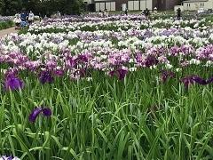 多賀城あやめ園ではあやめが見頃です。