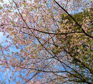 近所で河津桜満開〜