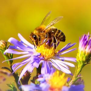 5月20日は、世界ミツバチの日:なぜミツバチは、私たちの生活に必要なのか?