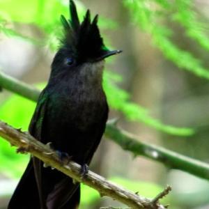コリブリという小鳥