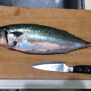 蓄養鯖のしめ鯖寿司