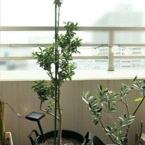 植え替えたオリーブ、葉が増えてきました!