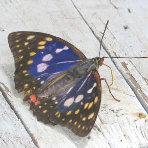 国蝶と日本ミツバチ