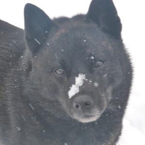 雪と虎毛犬 2021.01.24