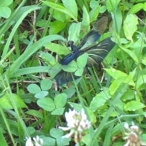 蝶のように舞うトンボと羽