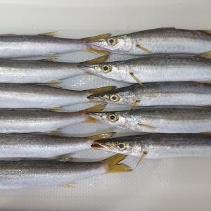 平塚新港で海釣りを楽しむ カマスが釣れた
