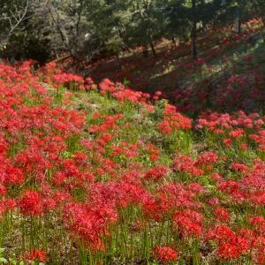 秋のお花巡り*彼岸花