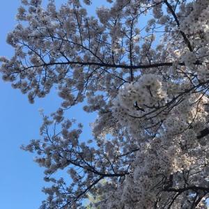 【5歳】息子とお花見2日目
