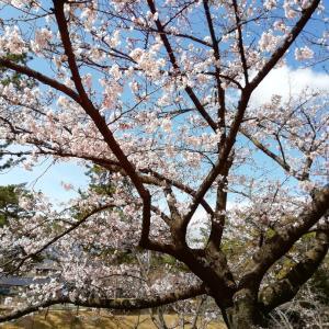 開き始めた桜を見て思うこと。。。