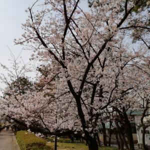 桜は満開になってきたけれど。。。
