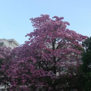 マレーシアの桜も見頃♡