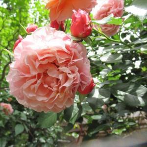 薔薇 ウーメロ
