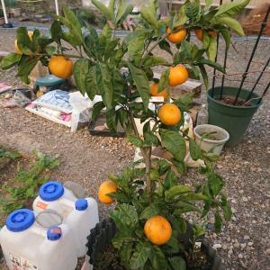 鉢植え果樹 記録・柑橘類(2021年1月現在)