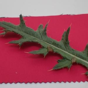 【マイクロスコープの斉藤光学です】アザミの葉を観察しました。