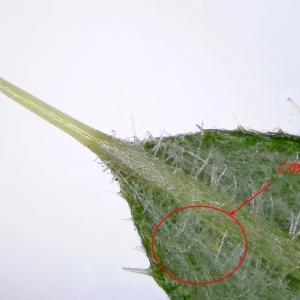 【マイクロスコープの斉藤光学です】アブラムシを観察しました。