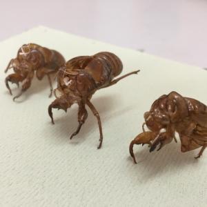 【マイクロスコープの斉藤光学です】蝉の抜け殻を観察しました。【その1】
