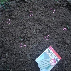 ピンクの種 つるなしインゲン