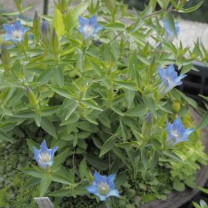 霧島リンドウ 今年も咲き始めました