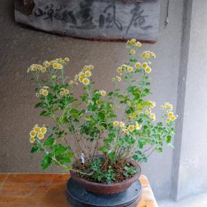 ノギク(済州島産)挿し木