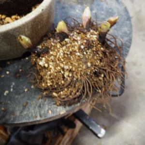 山野草創作会 12月例会 その-3  お正月飾り 錦糸ナンテンと福寿草 寄せ植え