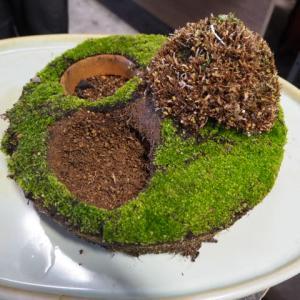 山野草創作会 12月例会 その‐2 「十三夜」の根洗い鉢に「ギョリュウ」を植え込む