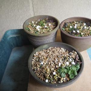 ユリ類の植え替え ヒメユリ