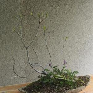 ムラサキケマン開花とイヌビワの芽吹き