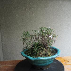 ヒメシャクナゲ 開花です