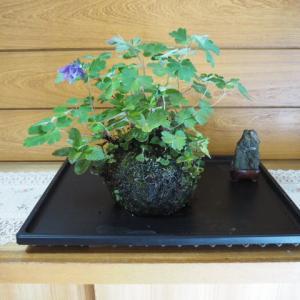 寄せ植え/根洗い(24号) ハッカ・ドクダミ・ミヤマオダマキ