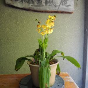 ジエビネ 開花です