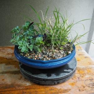 寄せ植え(ナンキンミセバヤ、霧島リンドウ、金華山ススキ)掃除