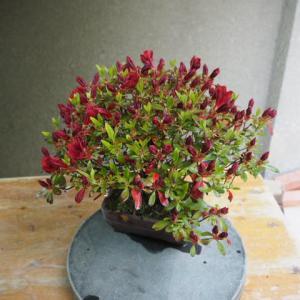 ツツジ(黒花?) 開花