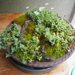 シコタンハコベ 咲いています