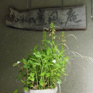 寄せ植え(30号)B鉢 黄金アシ・ハンゲショウ・カキラン・ドクダミ・ヒトツバショウマ・ホトトギス