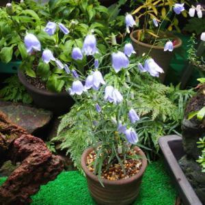 イワシャジン(青花) 掃除と薬剤散布