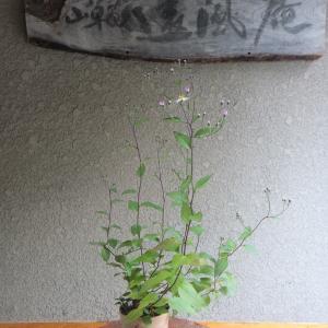キヨスミシラヤマギク(清澄白山菊) 開花に向けて